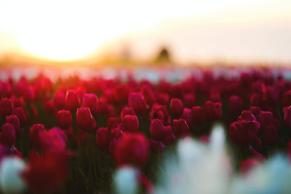The Journey Of Tulips From Farm To Florist